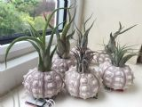 Airplant display with sea urchin shell - free 1st class postage
